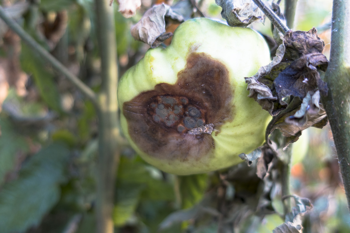 Blossom End Rot in an Aunt Ruby's German Green tomato