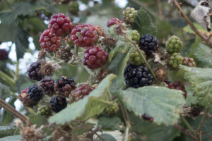 A bunch of unripe and ripe wild blackberries