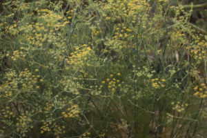 Fennel: It's everywhere you don't want it to be