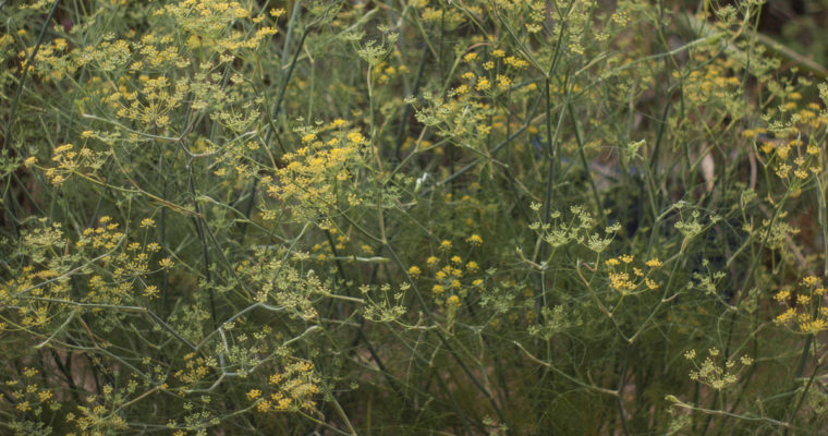 Fennel: The Worst Weed