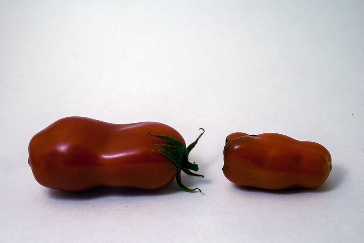 A healthy San Marzano next to one suffering from BER.