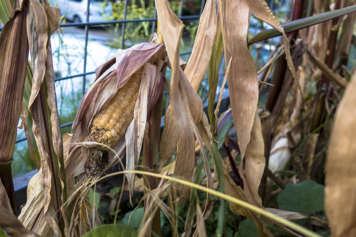 Overripe Corn