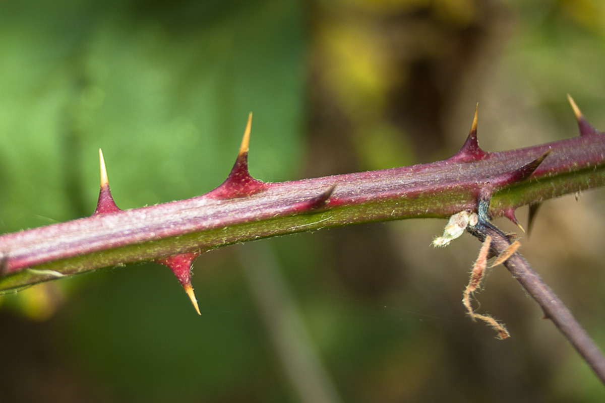 close-up of thorns of wild or Himalayan Blackberry