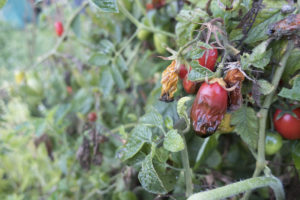 Overwatered, winter tomatoes