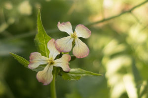 Rat Tail Radish Flowers