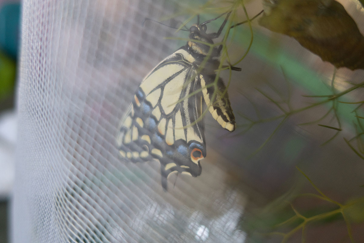 Swallowtail Butterfly in enclosure