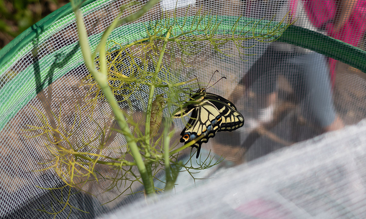 Swallowtail Butterfly just before release outside