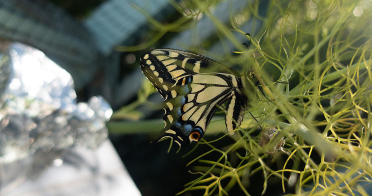 Raising Swallowtail Butterflies