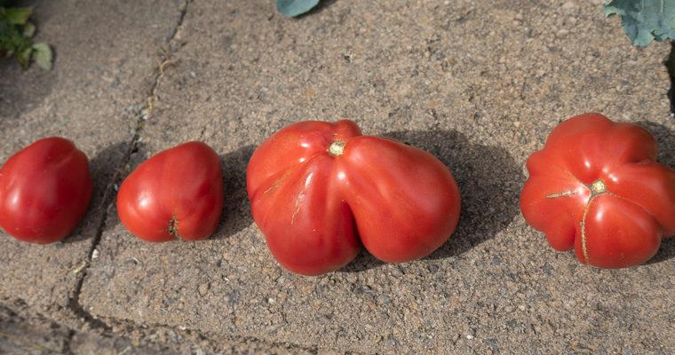 Cuore di Bue Tomatoes