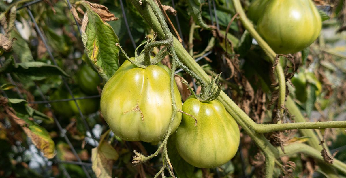 Green Cuore di Bue Tomato