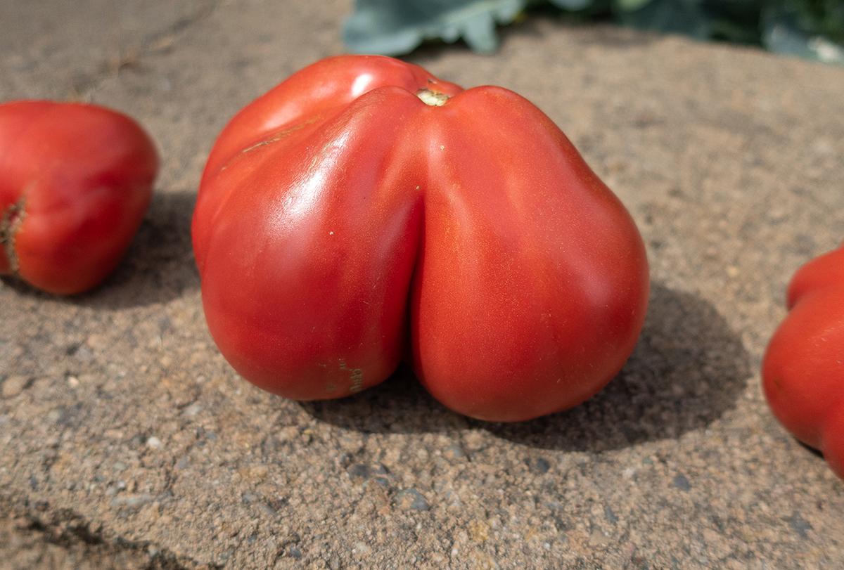 Double-lobed Cuore di Bue Tomato
