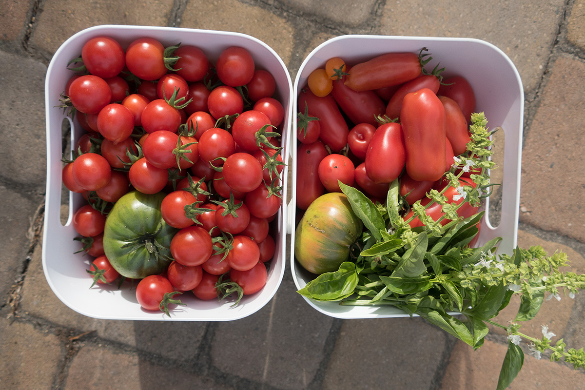 Bay Area Guide to Growing Tomatoes