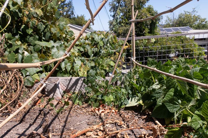 Cucamelon vines