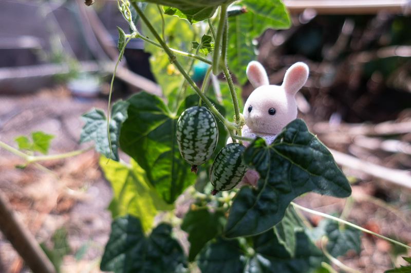 Bunny Calico Critter viewing the Mouse Melon harvest