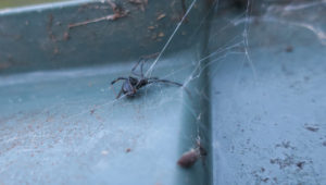 black widow spider on a compost bin lid