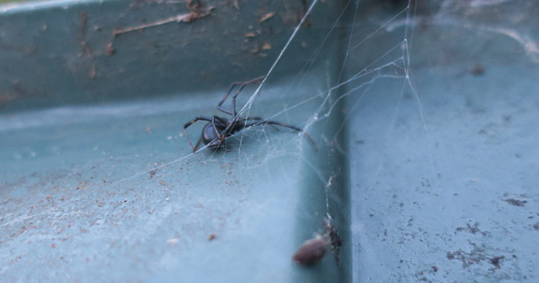 Yes, We have Black Widows in the Bay Area