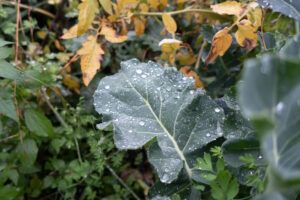 Rain-coated broccoli leaf