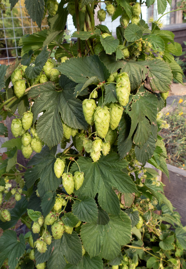 Cascade hops in bunches